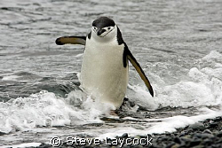 Chinstrap penguin, negotiating the surf. Sure the PADI ma... by Steve Laycock 